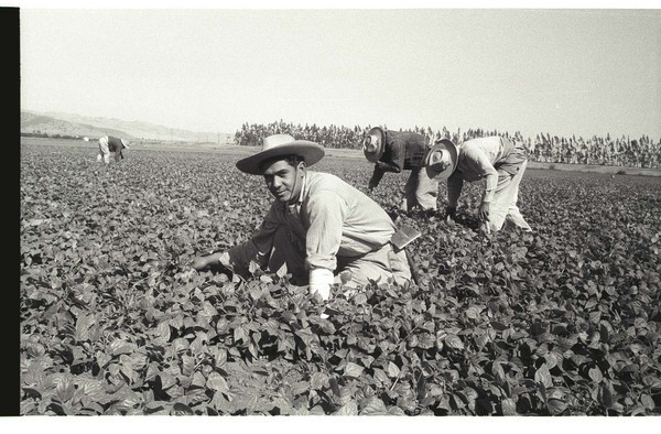 """Pepper Bracero (Braceros meaning """"manual worker"""")"""